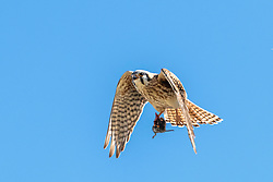 American Kestrel Falcon bring in a fine mouse dinner. North America's littlest falcon, the American Kestrel packs a predator's fierce intensity into its small body. It's one of the most colorful of all raptors