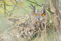 Eagle owl, Bubo bubo, a bird raised in captivity, newly released into the wild, Stockholm archipelago, Uppland, Sweden