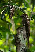 Long-tailed Potoo (Nyctibius aethereus)<br /> Surama<br /> Rainforest<br /> GUYANA. South America<br /> RANGE: Brazil, Venezuela, Guyana, Colombia, Ecuador, Peru, Bolivia, and Paraguay; also in Argentina