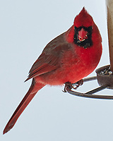 Northern Cardinal (Cardinalis cardinalis). Image taken with a Leica CL camera and 90-280 mm lens.