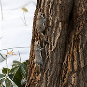This is a pair of Japanese dwarf flying squirrels (Pteromys volans orii), photographed during breeding season. The individual higher up on the tree is a female in oestrus. In the first two images in this sequence of three, the male approaches the female from behind to attempt copulation. In the third image, the female spins around to indicate in no uncertain terms that she is not ready. The pair's nest is in the crack in the tree.