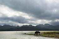 Alaskan Coastal Brown Bear in Kukay Bay in Katmai National Park in Alaska. ©Brett Wilhelm