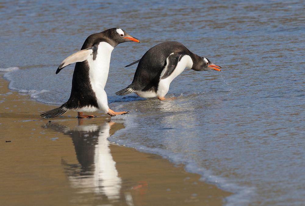 Long-tailed gentoo penguin  (Pygoscelis papua) enter the sea near their nesting colony on Saunders Island. Saunders Island, Falkland Islands. 15Feb16