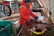 An Icelandic cod fisherman cleans fish in the belly of a ship near the small port of Sandgerdi on the western side of Reykjanes peninsula, Iceland. Although their craft is small, their large nets are mechanized. They monitor the casting then drink coffee and eat bread and fruit in the boat's galley until it's time to  haul in the bounty. They clean the fish in the belly of the ship, toss the guts, and then, after repeating this cycle many times for 8 hours, head for port. The fishermen take a fish or two home each day, along with their pay.