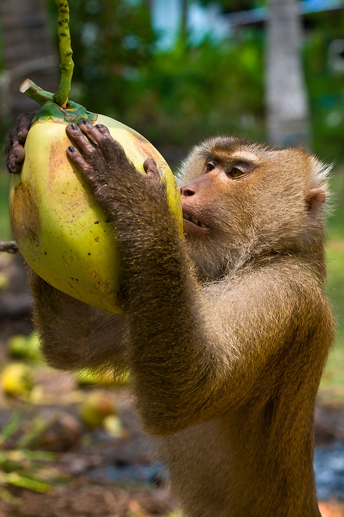 A macaque (monkey) trained to retrieve coconuts from a tree, Koh Samui (island), Gulf of Thailand, Thailand