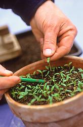 Pricking out seedlings<br /> Lifting seedlings by their leaves