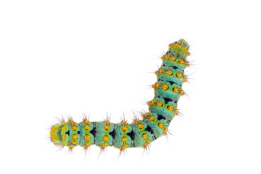 Small emperor moth, Saturnia pavonia, caterpillar, Queyras, France, Europe