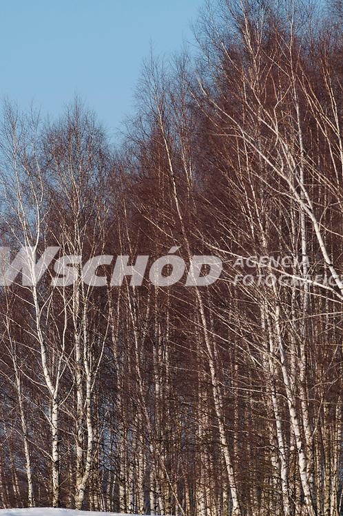 23.03.2013 Puszcza Knyszynska woj podlaskie N/z kepa brzoz fot Michal Kosc / AGENCJA WSCHOD