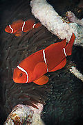 Spinecheek anemonefish (Premnas biaculeatus) in leathery sea anemone (heteractis crispa) - Agincourt reef, Great Barrier Reef, Queensland, Australia. <br />