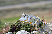 Dark-faced Ground Tyrant (Muscisaxicola macloviana macloviana) on rocks on Monday 5th February 2018.