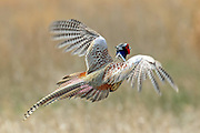 Ringnecked pheasant rooster in flight over native prairie grass.