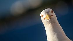 THEMENBILD - URLAUB IN KROATIEN, eine Möwe, aufgenommen am 03.07.2014 in Porec, Kroatien // a seagull in Porec, Croatia on 2014/07/03. EXPA Pictures © 2014, PhotoCredit: EXPA/ JFK