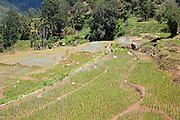 Paddy field rice farming terraces, Ella, Badulla District, Uva Province, Sri Lanka, Asia