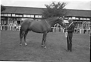 "08/08/1962<br /> 08/08/1962<br /> 08 August 1962<br /> Dublin Horse Show at the RDS, Ballsbridge, Wednesday. <br /> Picture shows winner of Pembroke Cup ""Long Lace"" owned by Patrick Carty, Killowen, Croosabeg, Wexford.§"