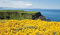 BUSHMILLS - De  kust van Noord Ierland bij Giant's Causeway met de gele bloemen, gaspeldoorn (Gorse) COPYRIGHT KOEN SUYK