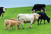 Bull with cows and calves, Bos primigenius, grazing in a herd on moorland in Exmoor National Park, Somerset, United Kingdom