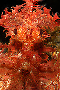 Weedy Scorpionfish, Rhinopias frondosa, Indo-Pacific, An ambush predator that feeds on small fish and shrimp. Colour and body shape help camouflage with its environment.