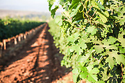 immature grapes on a vine in a vineyard Photographed in Kfar Tabor, Israel in July