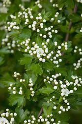 Hawthorn buds breaking into blossom. Crataegus monogyna
