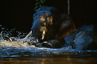 A young male Borneo Pygmy Elephant (Elephas maximus borneensis) plays in the water.