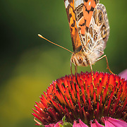 American Lady butterfly extracting nectar from purple coneflower in natural, restored  tallgrass prairie setting, north central Ohio. Image placed as Highly Commended for Photographic Excellence in Denver Audubon Society's Share the View 2014 international competition, and semifinalist in North American Nature Photography Association 2014 and 2015 Showcase competitions, Macro category. Earth Shots Photo of the Day Jan. 14, 2016.
