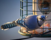 Blue Jay at the Bird Feeder. Image taken with a Nikon D5 camera and 600 mm f/4 VR telephoto lens (ISO 360, 600 mm, f/4, 1/640 sec)