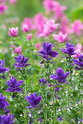 Salvia viridis 'Blue' and 'Pink'