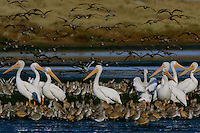American white pelicans (Pelecanus erythrorhynchos), willets(Catoptrophorus semipalmatus) and marbled godwits (Limosa fedoa) on a lagoon.