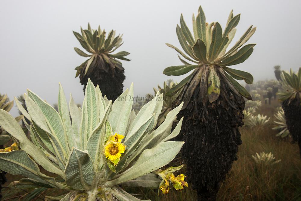 Frailejones (Espeletia schultzii)<br /> Endemic to Carchi Province.<br /> El Angel Ecological Reserve protects 16,000 hectares of paramo or high altitude grassland.<br /> Andes<br /> ECUADOR, South America<br /> Range: Colombia, Ecuador & Venezuela