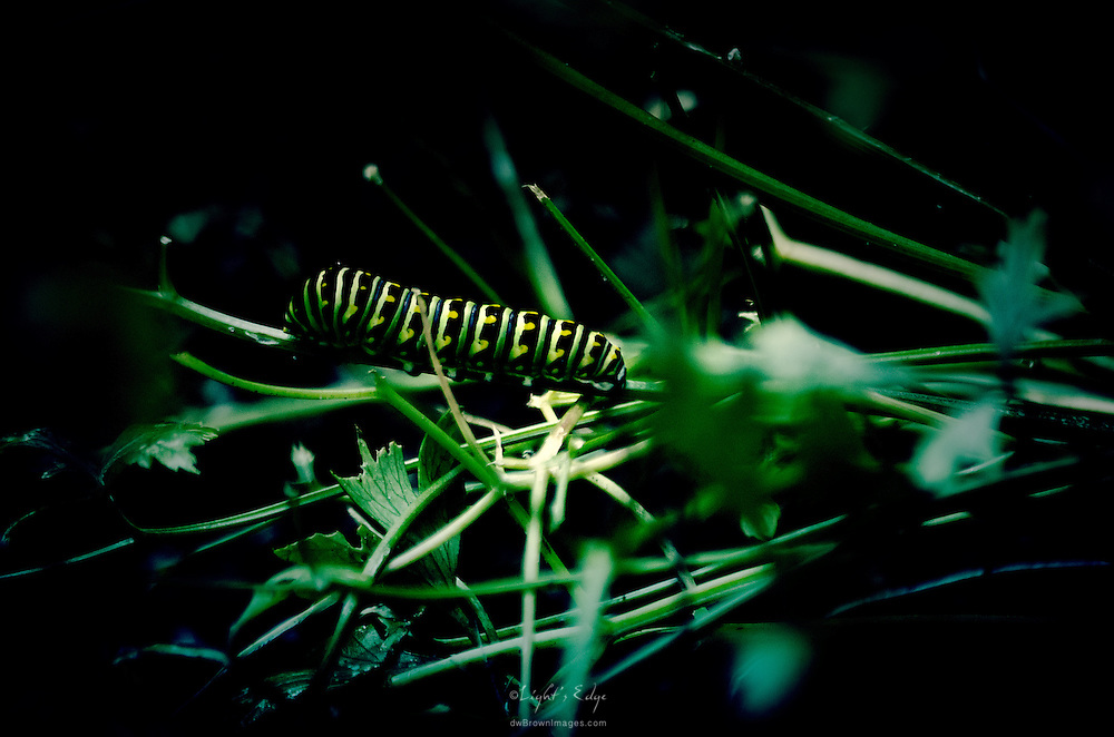 Full grown Black Swallowtail caterpillar feeding on a parsley plant prior to entering its chrysalis stage.