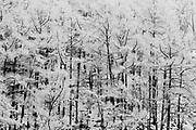 Pine forest in winter, Jigokudani, Yamanouchi, Japan
