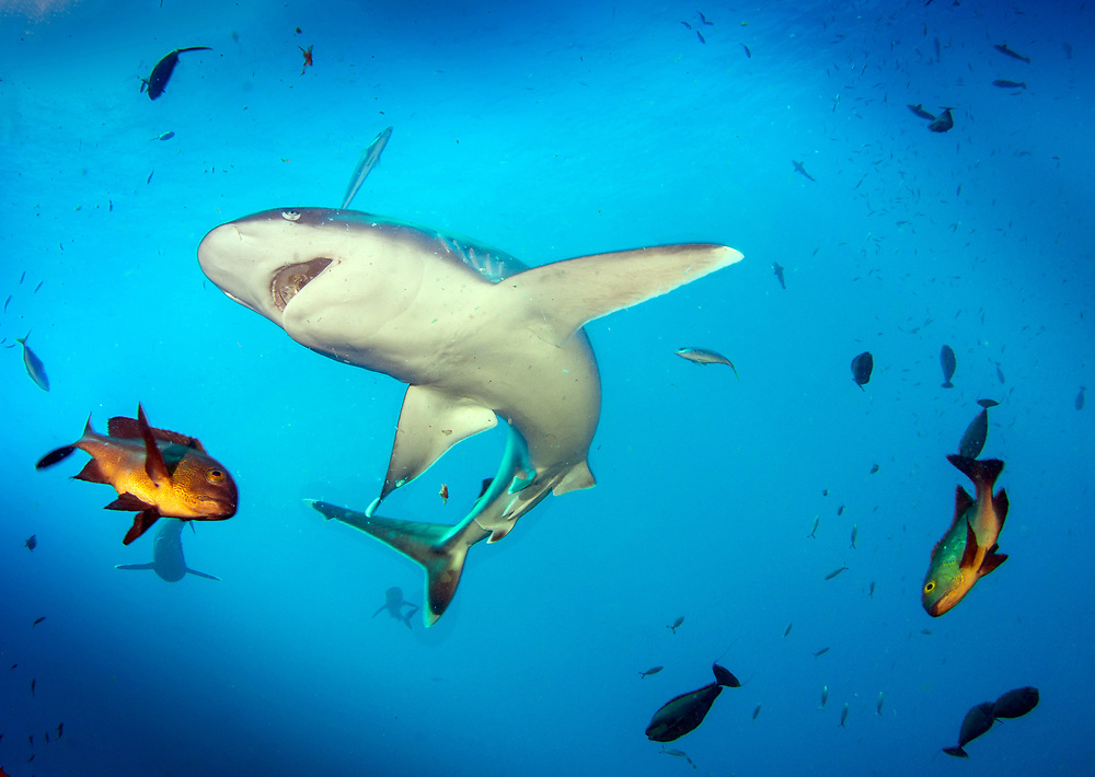 PNG, at Norman's Knob dive site with silver tip shark