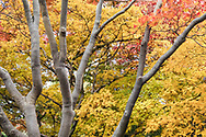 A group of Japanese Maple trees (Acer japonica) turn yellow, orange, and red in the Quarry Gardens at Queen Elizabeth Park in Vancouver, British Columbia, Canada.