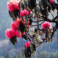 Rhododendrons on Ghorepani Pass