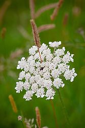Grass pushing through Wild carrot. Daucus carota, Queen Anne's Lace