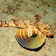 Caribbean Searobin