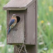 Eastern bluebird (Sialia sialis) looks around with curiosity while perched outside nesting box at nature preserve, NE Ohio.