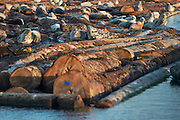 Harbor seals bask in the late afternoon springtime sun on a log raft near the Nippon paper plant in Port Angeles, WA.