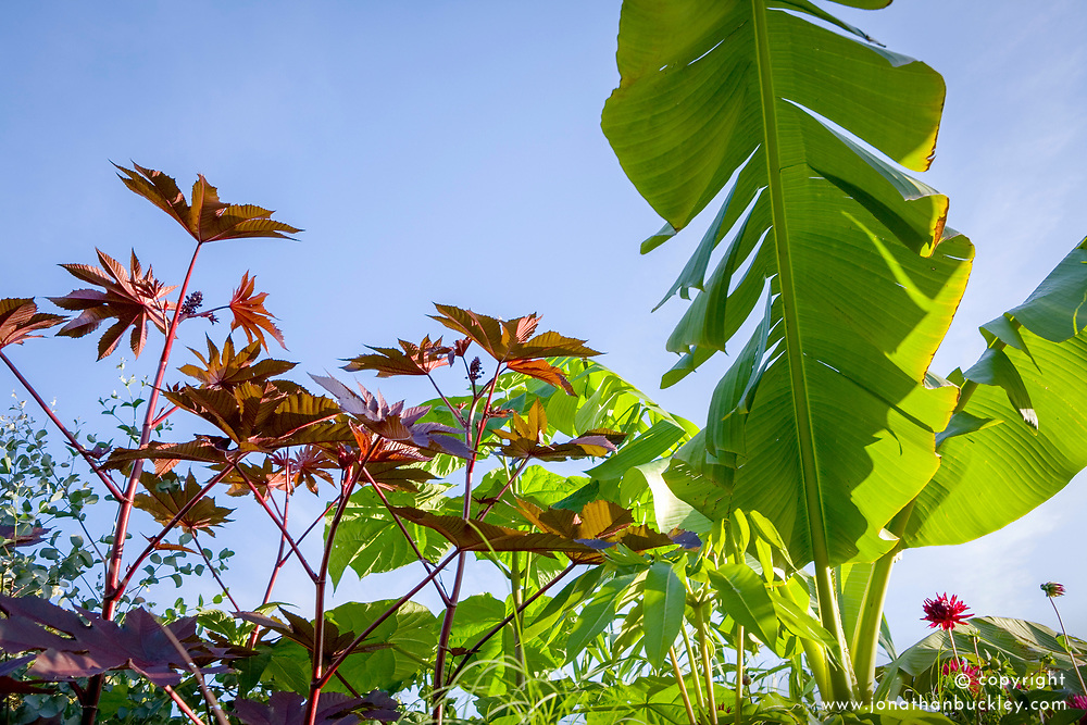 Ricinus communis ( Castor oil plant ) and Musa basjoo against blue sky in the exotic garden at Great Dixter