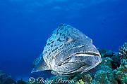 potato cod, Epinephelus tukula, <br /> the Cod Hole, Ribbon Reefs,<br /> Great Barrier Reef, Australia,<br /> ( Western Pacific Ocean )