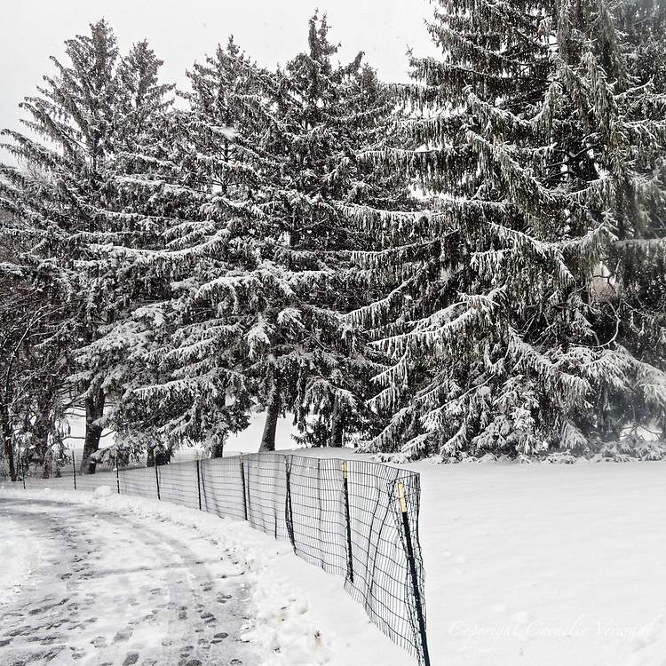 A snow-covered stand of Norway Spruce trees on Cedar Hill in Central Park