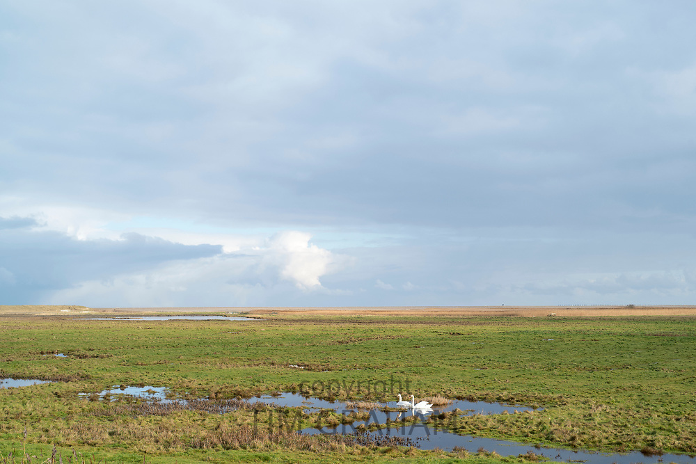 Pair of Mute swans at Cley Next The Sea marshes, Norfolk, UK