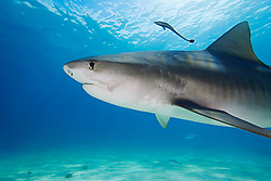 Tiger Shark, Galeocerdo cuvier, showing nictitating membrane to protect eyes, West End, Grand Bahama, Bahamas, Caribbean, Atlantic Ocean