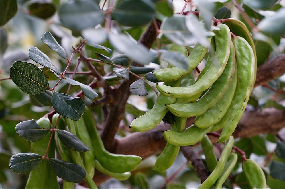 Carob (Ceratonia siliqua), Elafonissi, Crete
