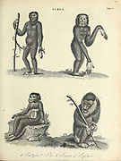 Simia a classification of primates by Carolus Linnaeus here depicting 4 primate species. Copperplate engraving From the Encyclopaedia Londinensis or, Universal dictionary of arts, sciences, and literature; Volume XXIII;  Edited by Wilkes, John. Published in London in 1828