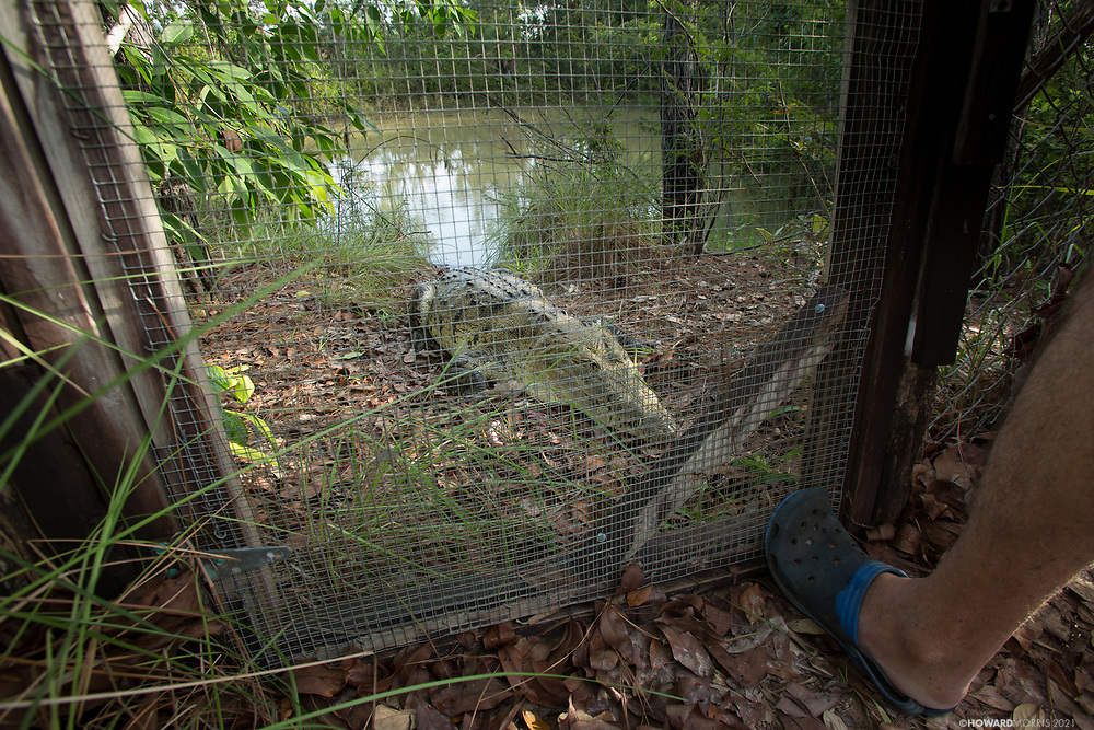 Always ready to eat, a Morelet's crocodile (Crocodylus moreletii) challenges its enclosure gate at feeding time. Pine Savanna Nature Reserve, Belize.