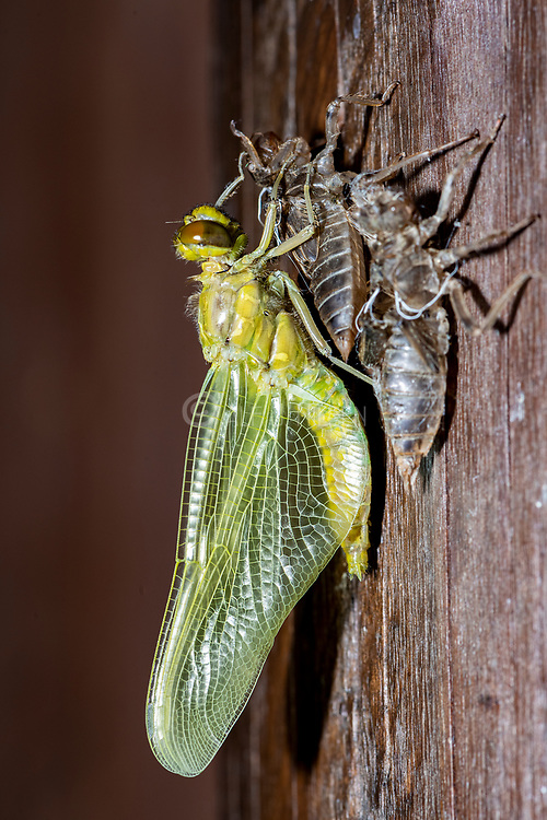 A nymph of the black-tailed skimmer (Orthetrum cancellatum) undergoes transition and becomes an adult dragonfly in the process known as incomplete metamorphosis. A second nymph, not yet started the transition, is seen in the foreghround. Photo from Vejlerne, northern Denmark in June.