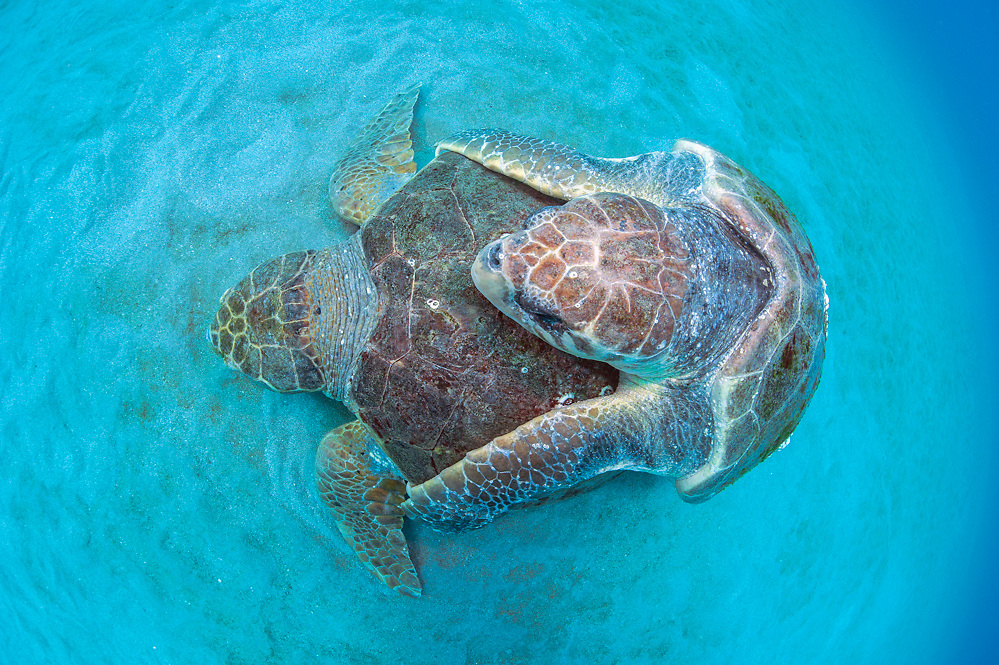 A pair of endangered Loggerhead Sea Turtles, Caretta caretta, mate on the surface offshore Juno Beach, Florida, United States.