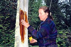 Kristina Timmerman Putting Molasses On Tree