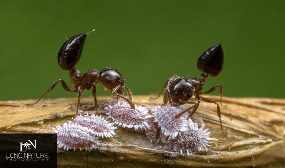 Crematogastor Sp. -  Acrobat Ant farming mealy bugs (Pseudococcidae),